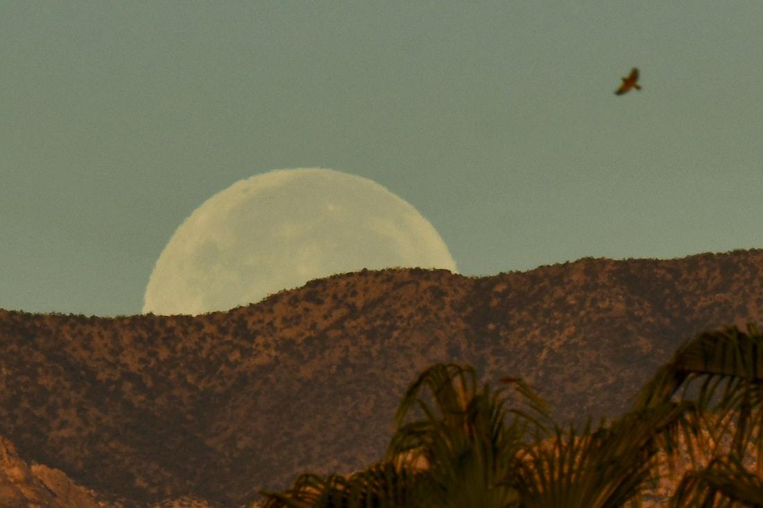 A Full Harvest moon setting behind mountains with a Cooper's Hawk in the upper right
